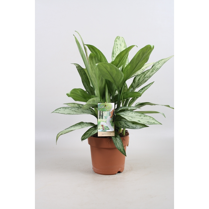 <h4>Aglaonema commutatum 'Silver Queen'</h4>
