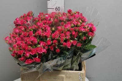 <h4>Rose Sp. Lianne</h4>