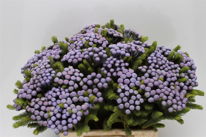 <h4>Kaaps Albiflora M Lavender</h4>