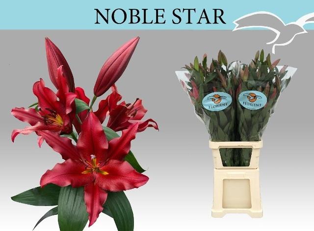 <h4>LI OT NOBLE STAR</h4>