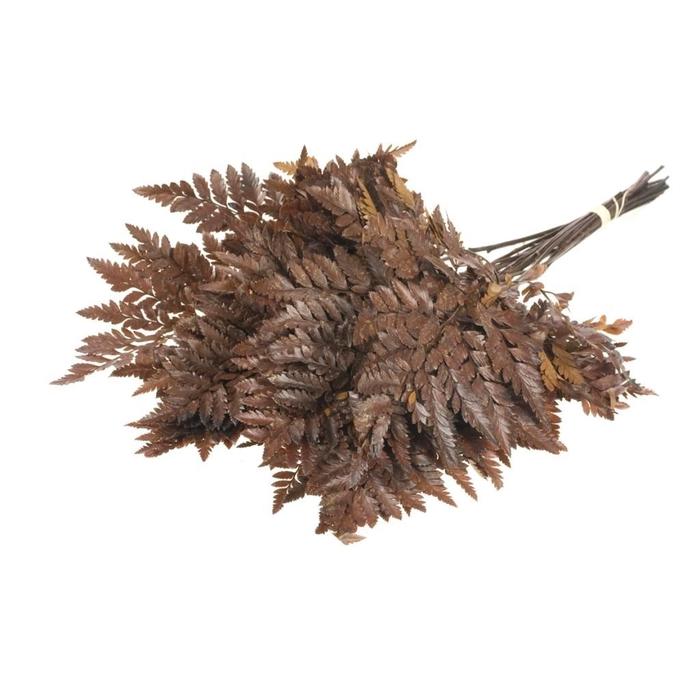 <h4>DRIED FLOWERS - LEATH FERN PRES 25PC NAT</h4>