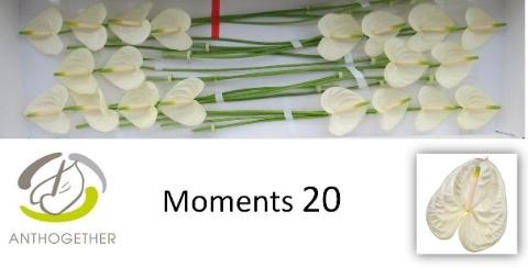 <h4>Anthurium andr. 'Moments'</h4>