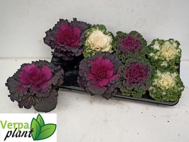 Brassica 13Ø 20cm