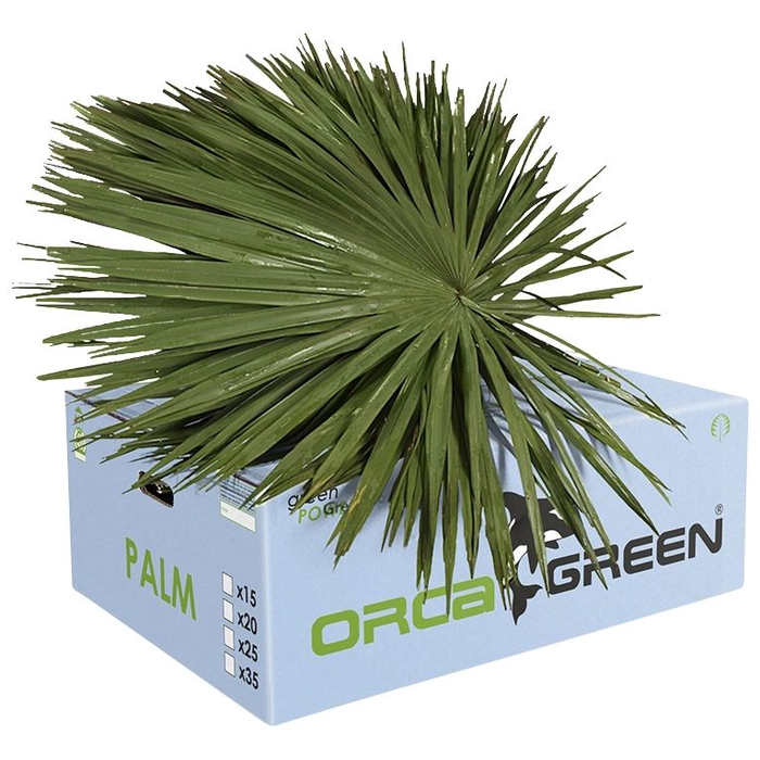 <h4>Palm Orca L x25</h4>