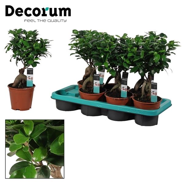 <h4>Ficus Microcarpa Ginseng geënt 14 cm (Decorum)</h4>