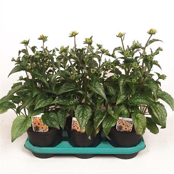 <h4>Rudbeckia ful. Goldsturm</h4>