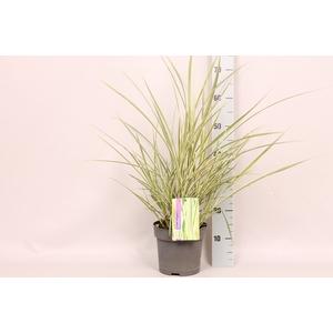 vaste planten 19 cm  Miscanthus Variegatus
