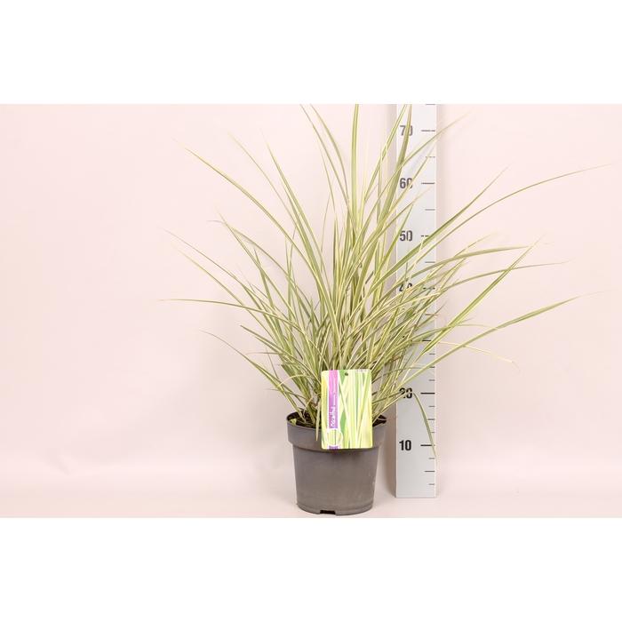 <h4>vaste planten 19 cm  Miscanthus Silberspinne</h4>