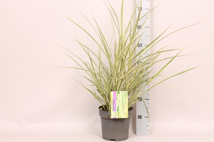 <h4>vaste planten 19 cm  Miscanthus Variegatus</h4>