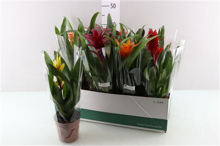 <h4>Bromelia Gemengd</h4>