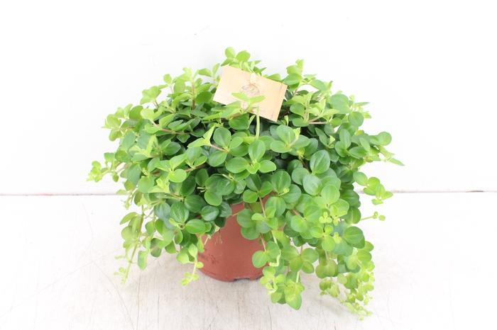 <h4>pl. Smit 15cm - Peperomia Rotundifolia</h4>