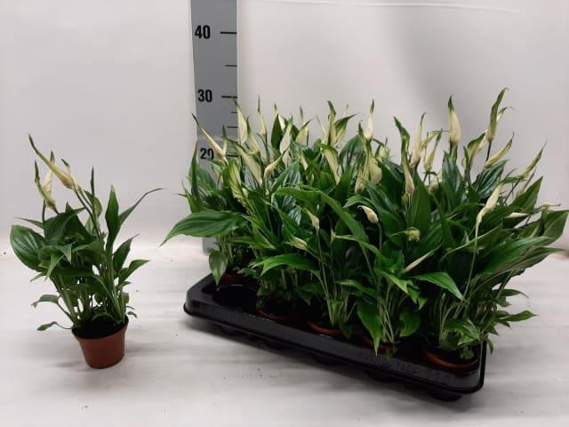 <h4>Spathiphyllum Chopin 6,5Ø 20cm 3+ kwiatów</h4>