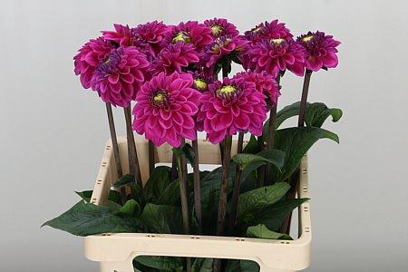 <h4>Dahlia Pp Purple Fox</h4>