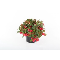 <h4>Gaultheria procumbens 'Winterpearls Red Baron'</h4>