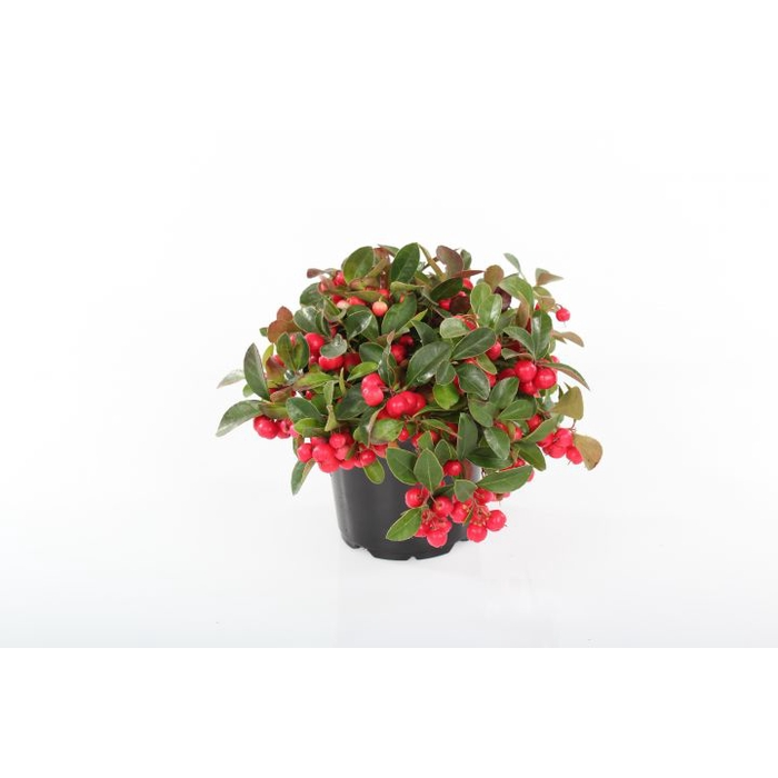 <h4>Gaultheria procumbens 'Winterpearls</h4>
