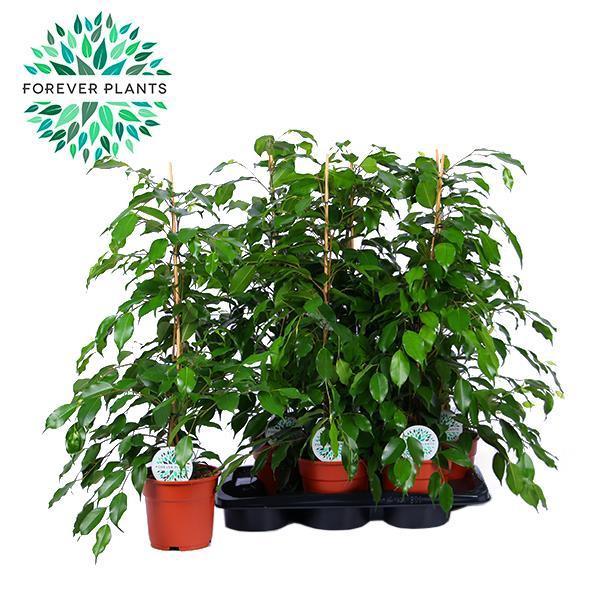 <h4>Ficus benjamina 'Exotica'</h4>