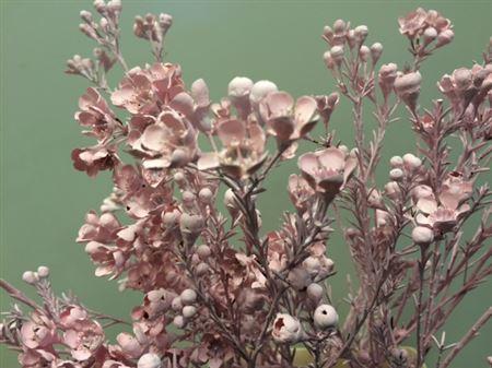 <h4>Wax Flower Licht Rose</h4>