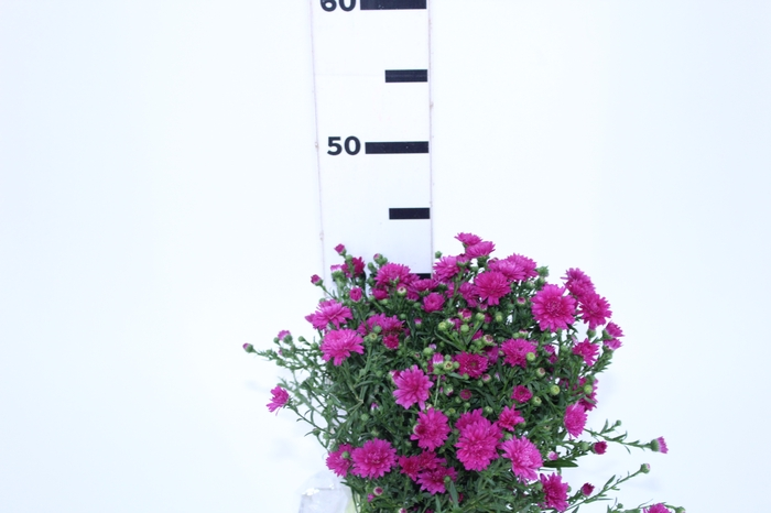<h4>ASTER MARIANA 040 CM PINK</h4>