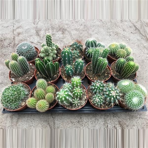 <h4>art.113 Cactus gemengd 10, 5 cm</h4>