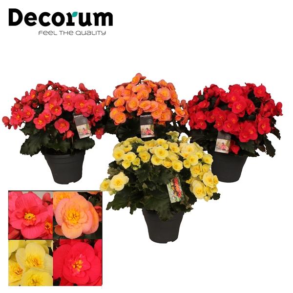 <h4>Begonia 'belove gemengd' Decorum</h4>