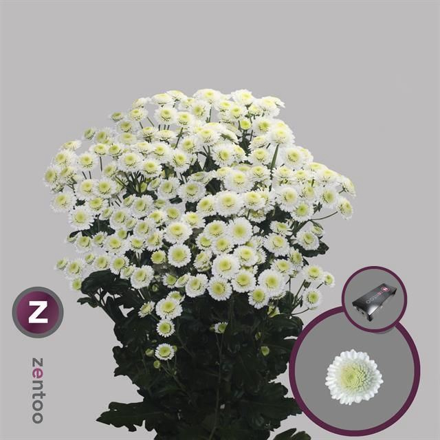<h4>Chrysanthemum TR 'Stallion'</h4>
