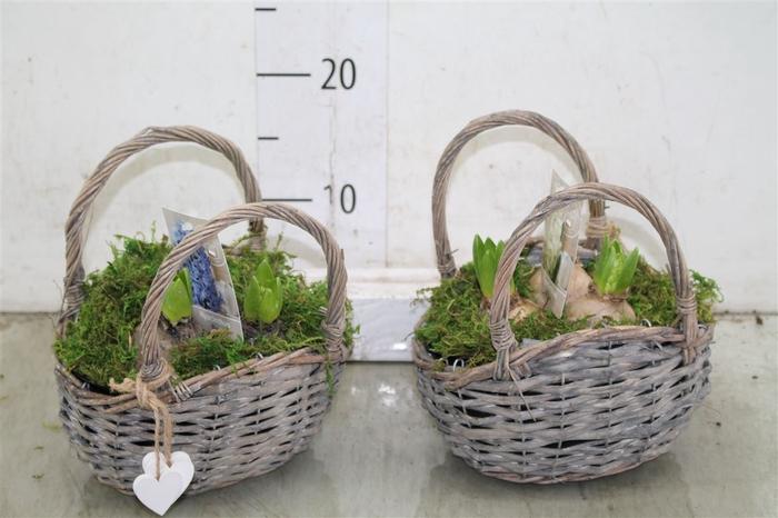 <h4>Hyacinth Mix 3703 Hengselmand Riet 3pp Mos</h4>