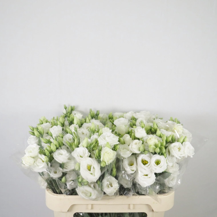 <h4>Lisianthus blanco</h4>