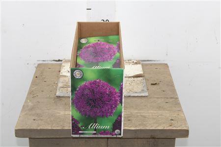 <h4>Bulb Allium Purple Sensation X5</h4>
