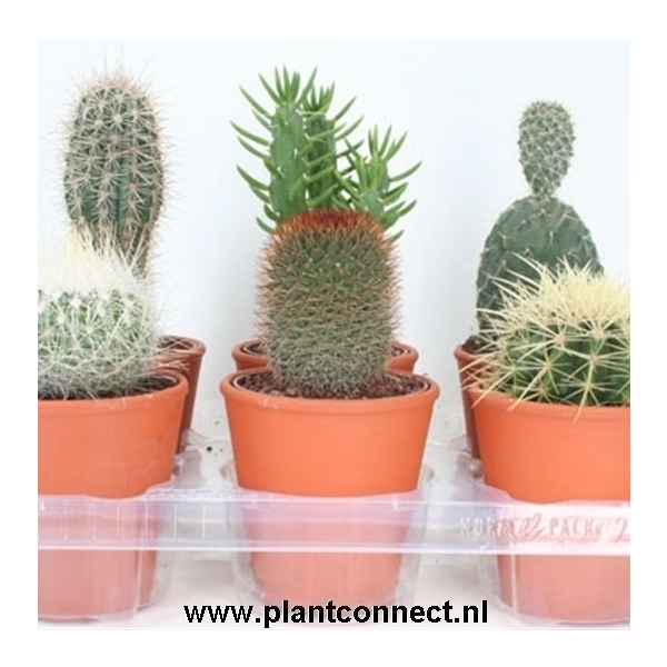 <h4>art.117 Rozenpot cactus 10,5 cm</h4>