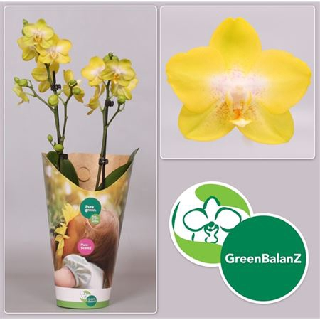 <h4>Colorz - Yellowcup 2 Tak In Potcover</h4>