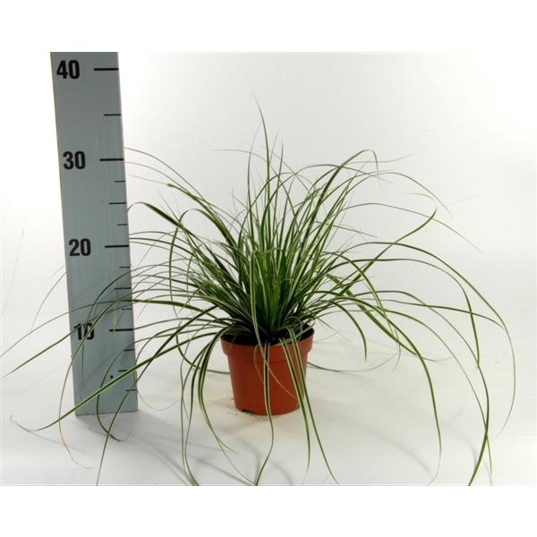 <h4>Carex 'Everest' p12</h4>