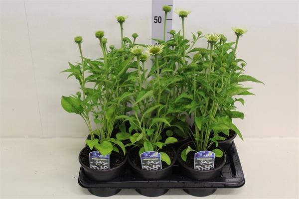 <h4>Echinacea purp. 'Alba'</h4>