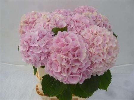 <h4>Hydr M Verena Pink</h4>