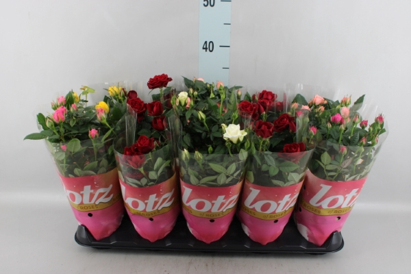 <h4>Rosa  'Lotz of'   ...mix</h4>