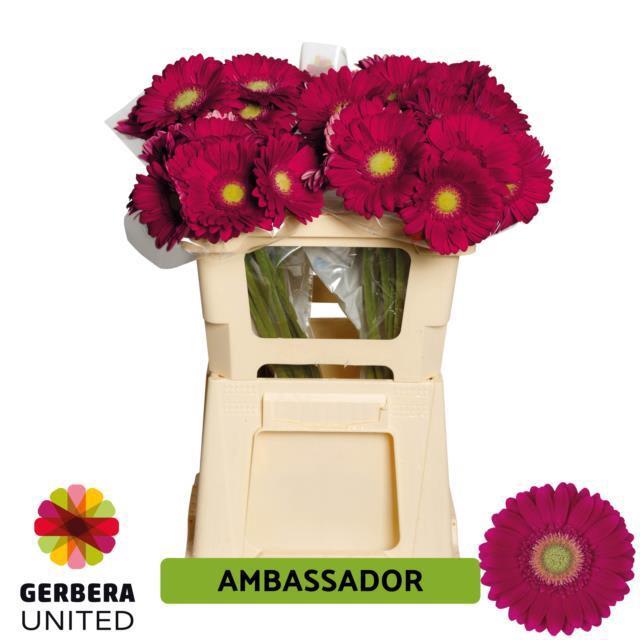 <h4>GE GR AMBASSADOR</h4>