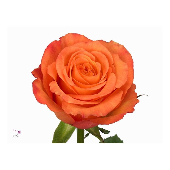 <h4>Rosa Gr. Confidential</h4>