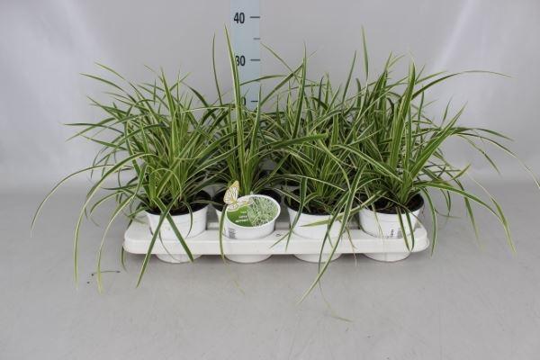 <h4>Carex morrowii 'Ice Dance'</h4>