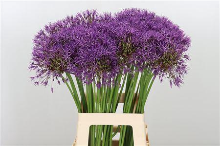 <h4>Allium Purple Rain</h4>