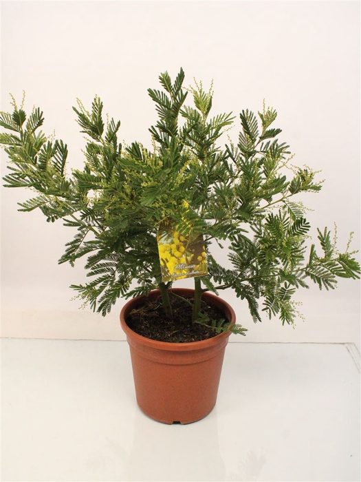 <h4>Acacia Mimosa Daelbata Bush</h4>