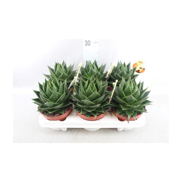 <h4>Aloe aristata 'Cosmo'</h4>