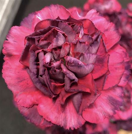 <h4>Di St Metalica Rose</h4>