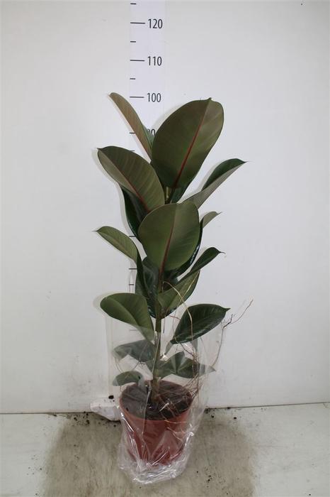<h4>Ficus Robusta 1pp</h4>