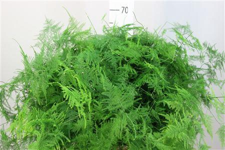 <h4>Asparagus Plumosus Middel Getopt</h4>