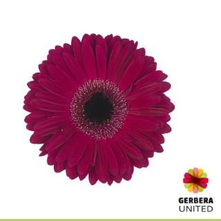 <h4>Gerbera Clasico</h4>