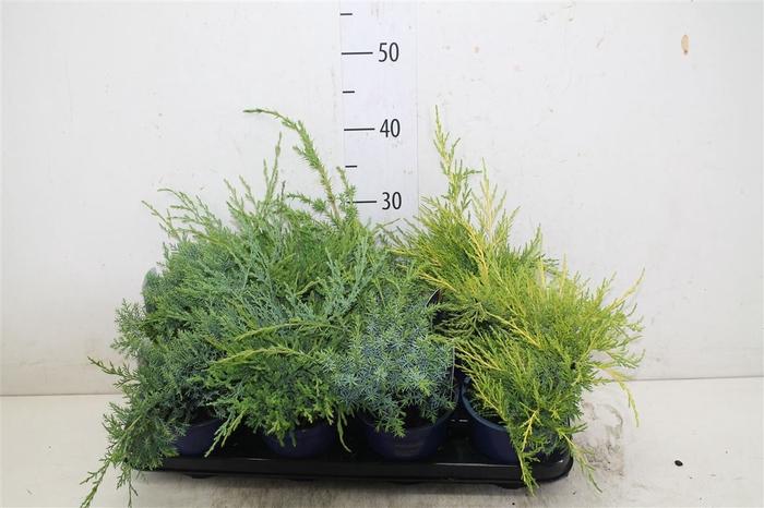 <h4>Juniperus Gemengd</h4>