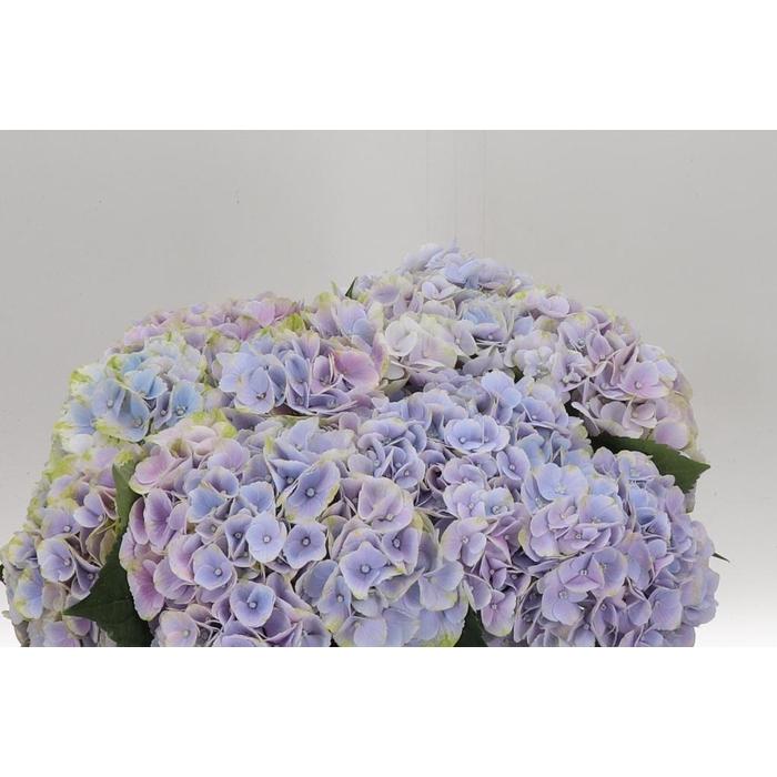 <h4>Hydr Lavendel Cloud</h4>