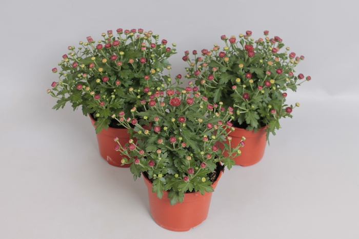 <h4>Potchrysant Red</h4>