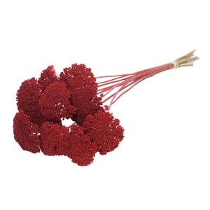 Achillea parker red