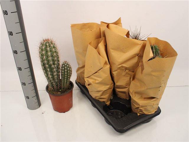 <h4>Cactus mix 17Ø 50cm</h4>