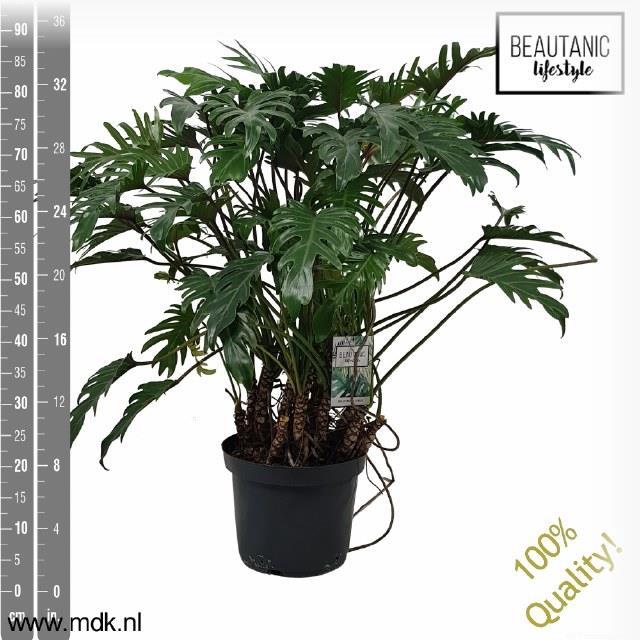 <h4>Philodendron xanadu 30Ø 100cm</h4>